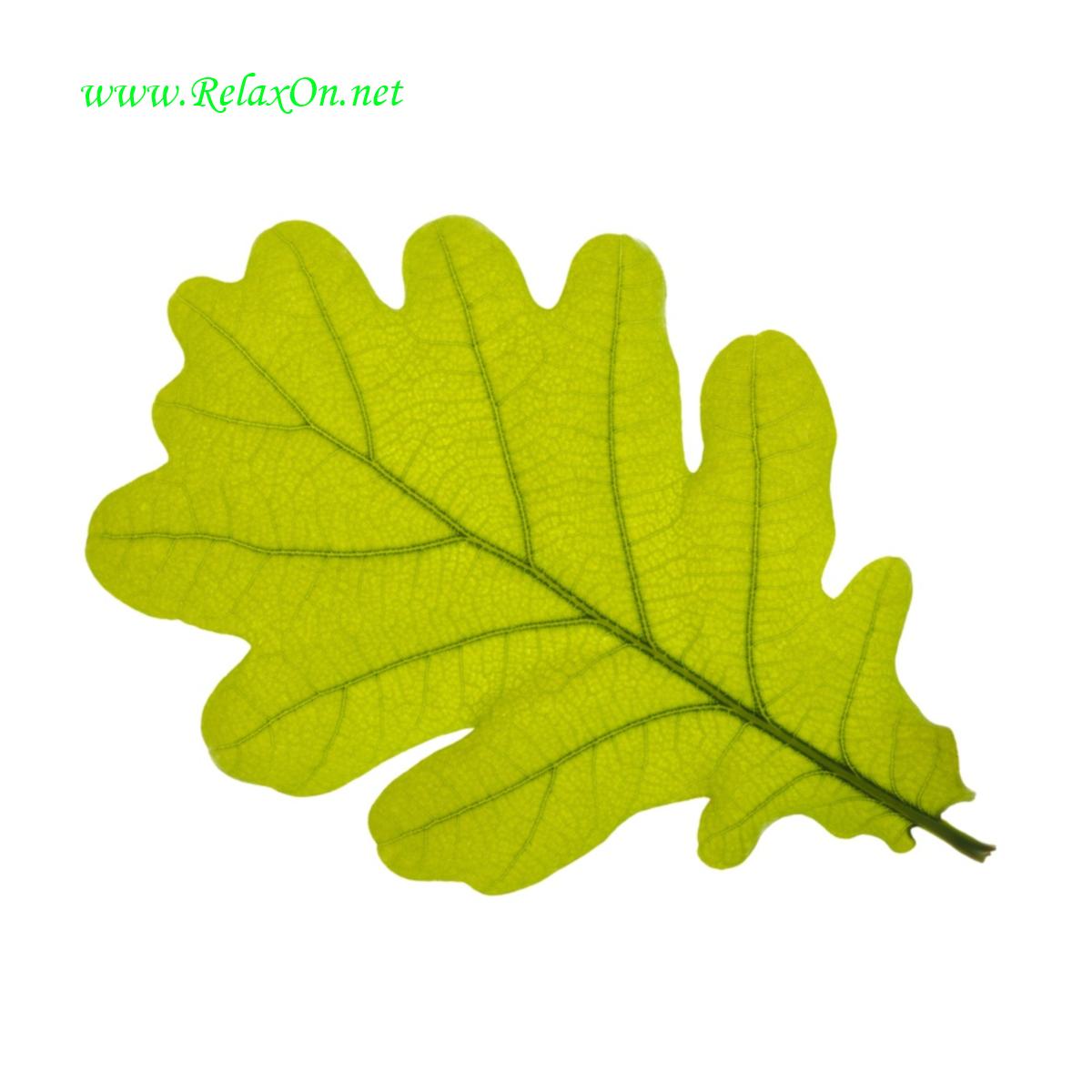 Трафарет листьев дуба-2